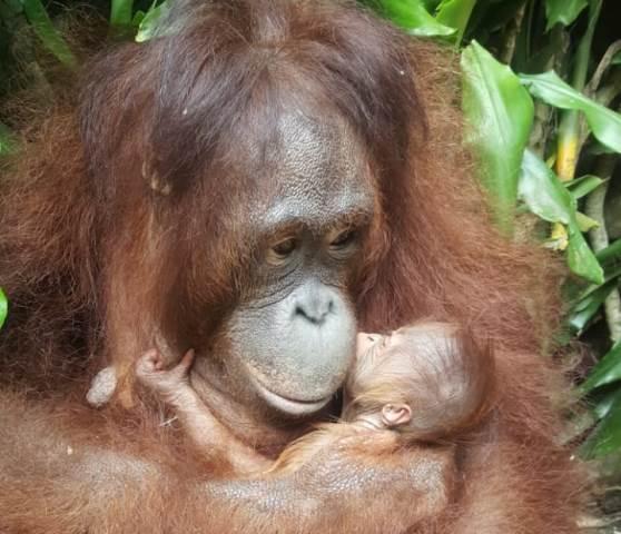 Bayi Orangutan Satwa Dilindungi Lahir Di Masa Pandemi